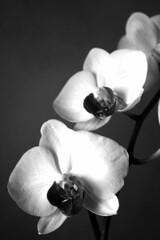orchidea in bianco e nero (*maya*) Tags: flowers blackandwhite bw blossom bn fiori fiore ramo biancoenero orchidea ordchid boccioli