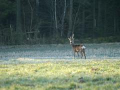 Roe Deer (Per Lissel) Tags: nature sweden smland deer sverige 50200mm roedeer zd pjl svarttorp
