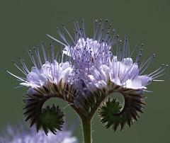 Phacelia tanacetifolia (arjuna_zbycho) Tags: olympus e500 flowerscolors flowersadminfave greatflowermacros
