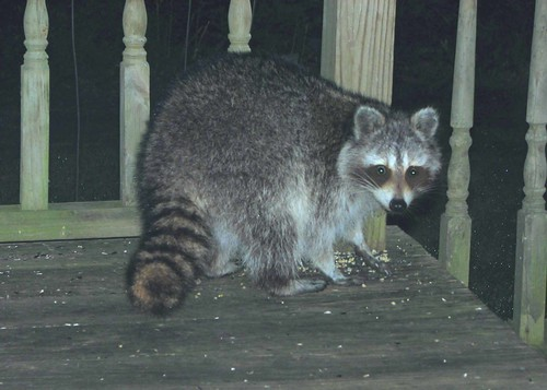 raccoon 02_edited-1