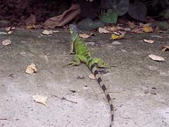 iguana (erni83) Tags: animal colombia iguana huila reptil