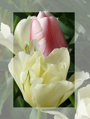 Pastel Togetherness (frazz46) Tags: flowers macro eye bravo tulips pastel mygarden labyrinth soe happyanniversary blueribbonwinner flickrsilver mywinners abigfave crystalaward