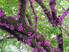 Cercis (Dragan*) Tags: pink flowers light plant color tree green nature fleur colors leaves closeup garden leaf spring blossom branches serbia flor blossoms magenta foliage bloom bud belgrade beograd srbija redbuds alberodigiuda cercis cvet judastree dragantodorovic cercissiliquastrum forestpansy београд cauliflory kauliflorija