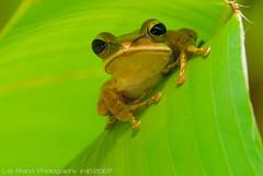 ♫ YO Yo yo, there's no place like a green penthouse... so i told the genie i wanted to be well hung. ^o^ ♫ nah... wildlife from singapore♫ (bocavermelha-l.b.) Tags: macro green cool singapore frog r1 treefrog froggy perereca rã mountfaber itsong–invite 105mmf28dmicro 青蛙 接写 r1c1 south–china–sea itsong–nikond200 2xtelepluspro300 mi–im commontreefrog shootingwithd200 kusjezinhos マクロ撮影 nikonr1ttlringlightflash natureisart comovai polypedatesleucomystax 24hoursofflickr 24horasdeflickr heliconiapsittacorumxspathocircinatacv foundatmountfaber wildlifesingapore greeenaliciousss yrrawkindacasbahagain 24heuresdeflickr 木カエル 树青蛙 fourlinedtreefrog деревожаба nogeneticengineeringofanimals 超接写