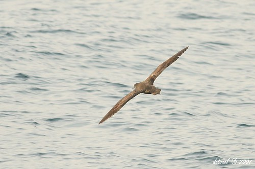 Short-tailed Shearwater ????