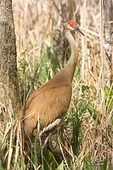 Kensington Sandhill Cranes