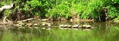 Sunning turtles on a log