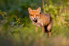 Urban Fox (vlad259) Tags: urban nature wildlife fox watford utatafeature ultimateshot
