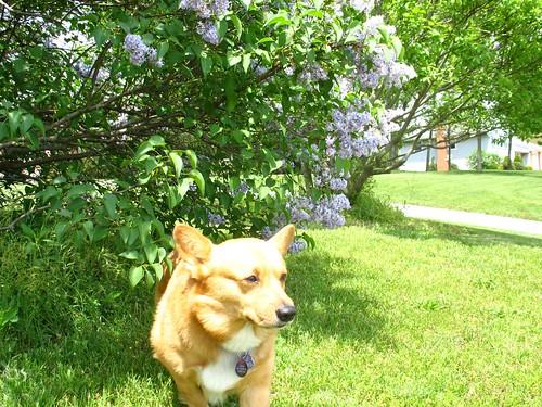 Sampson sniffs the lilacs