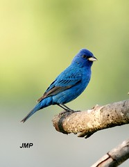 Indigo Bunting (tanager55) Tags: blue black green bird grey bravo feather limb indigobunting naturesfinest instantfave flickrsbest abigfave anawesomeshot impressedbeauty avianexcellence empyreananimals