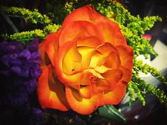 Orange Rose I saw at Kroger - by .imelda