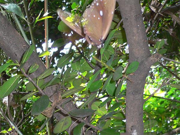 徘徊產卵的紫斑蝶
