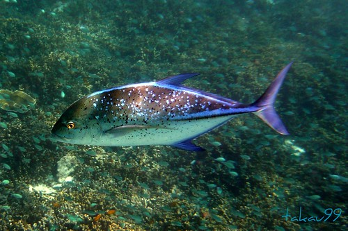 Bluefin Trevally at Similan Islands, Thailand