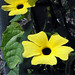 Wanna be Blake Eyed Susan