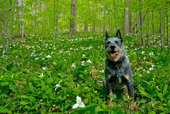 Suki in the trilliums (gustavosal) Tags: blue beach dogs bluesky lakemichigan acd blueheeler runningdogs happydogs northernmichigan benziecounty