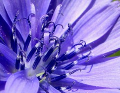 Cichorium intybus (III) (.Bambo.) Tags: flowers blue plants flores café azul plantas flor plantae silvestre asteraceae botánica cichoriumintybus compositae raíces xirivella silvestres beautifulearth achicoria lhortasud herbácea hortabaixa