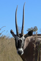 Oryx - by Arno & Louise
