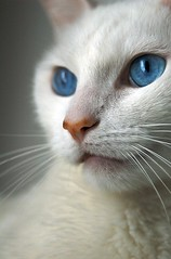 Bird Lover (lulu.photo) Tags: cat nikon d70s whitecat luluphoto bestofcats impressedbeauty misterpeaches boc1007