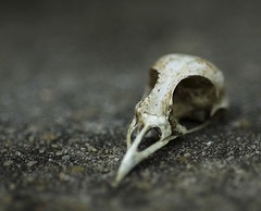 Bird Skull - 3/4 View (T. Scott Carlisle) Tags: bird d50 skull backyard nikon micro tsc 105mmf28gvrmicro tphotographic tphotographiccom tscarlisle tscottcarlisle