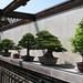 Bonsai Trees at National Arboretum