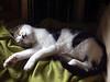 Palumita (Palumita) Tags: verde green blanco cat negro son gato blanc gat negre sueño 2007 verd dreem cattus commentonmycuteness eligetucolor kittycrown palumita