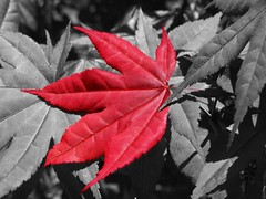 Japanese Maple leaf (lynnirene) Tags: red color tree leaves leaf maple gimp japanesemaple selectivecolorization redblack blueribbonwinner cotcmostfavorited abigfave cmwd cmwdred