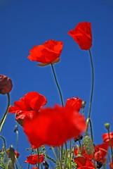 Passion poppies (ACPinho) Tags: flowers blue light red sky portugal nature topf25 spring nikon bravo europe may 100v10f santarém exploreinterestingness naturesfinest interestingness80 i500 d80 nikonstunninggallery 30faves30comments300views
