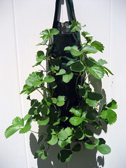 strawberry_growing_bag_1