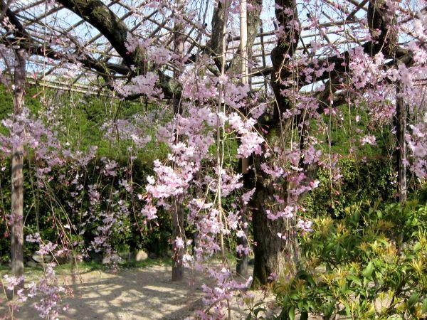 京都・城南宮28 桃山の庭1 さくら紅枝垂桜