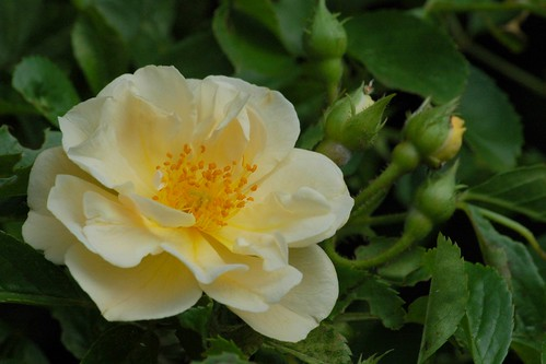 Unknown rambler rose - Onbekende liaanroos