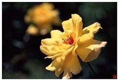 Rose 070520 #15