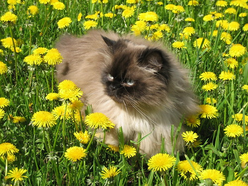 Picture of a Persian Cat with Flowers. Posted on June 10, 2007 - Filed Under