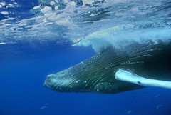Upside down gaze (ScottS101) Tags: eye ilovenature carribean whale humpback allrightsreserved cetacean ilovetheocean silverbank animalkingdomelite copyrightscottsansenbach2008
