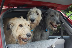 Eilee, Lena & Connery..show dogs...pets...family members (Jenya Campbell) Tags: portrait dog pet animal fun outside hound perro lena sighthound connery irishwolfhound purebred giantbreed gazehound eilee