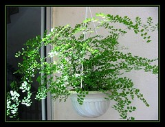 A hanging pot of Adiantum capillus-veneris (Southern Maidenhair Fern) dappled with sunlight