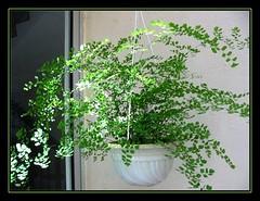 A hanging pot of Adiantum capillus-veneris (Southern Maidenhair Fern) dappled with sunlight