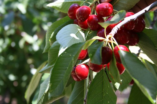 Cherries, closeup