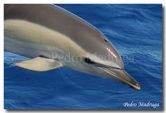 Delphinus Delphis (PedroMadruga) Tags: ocean sea wild mammal dolphin wildlife pico azores açores cetacean tonina commondolphin toninha animalkingdomelite pedromadruga southofpico golfinhocomum toninhamansa suldopico bfgreatesthits