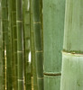 Bamboo sea (jocelyncoblin) Tags: japan kyoto green nature bamboo travel abstract