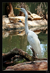 Australian Great Egret. (Brenda-Starr) Tags: nature birds fauna bravo searchthebest native wildlife australian australia newsouthwales soe animalplanet blueribbonwinner featheryfriday birdphoto inadesignphotography animalkingdomelite abigfave wildlifewarriors wildlifeofaustralia january2007 diamondclassphotographer australiangreategret