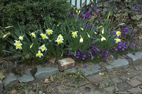 Daffodils and Crocus, Summit Street Community Garden