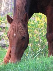 still grazing (julsie131) Tags: pony fireandice chestnutmare woodlandspony