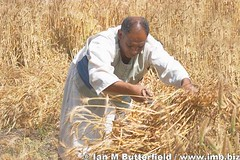 Harvest at Avaris