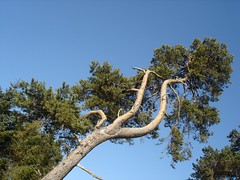 Scots pine (Joanpix) Tags: blue sky tree scotland spring balloch inverness culloden pinussylvestris scotspine