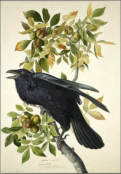 Just How Smart Are Ravens? | ScienceBlogs