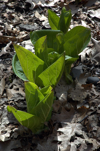 Skunk Cabbage, Native Flora Garden