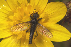 "St Mark's Fly (Bibio marci) • <a style=""font-size:0.8em;"" href=""http://www.flickr.com/photos/57024565@N00/463894162/"" target=""_blank"">View on Flickr</a>"