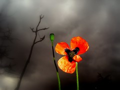 alone in the dark (nghn) Tags: flowers orange flower nature spring makro iek cornpoppy gelincik