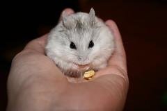 Mmmmm, apples! (domesticatedhuman) Tags: pet cute dwarf hamster nibbler