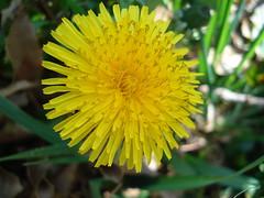 Dandelion (Taraxacum) (Bluebird0927 (ON/OFF)) Tags: flower eye yellow ilovenature thebestbravo macromacromacro diamondclassphotographer flickrchics thenaturegroup